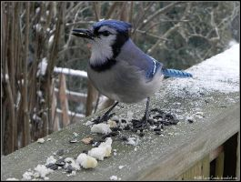 Hungry BlueJay by Lou-in-Canada