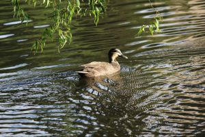 Adelaide Botanical Garden's Duck by N-ScapePhotography