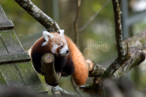 Red panda cub. by Ravenith