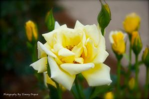 Yellow Rose 3444 by TommyPropest-Candler