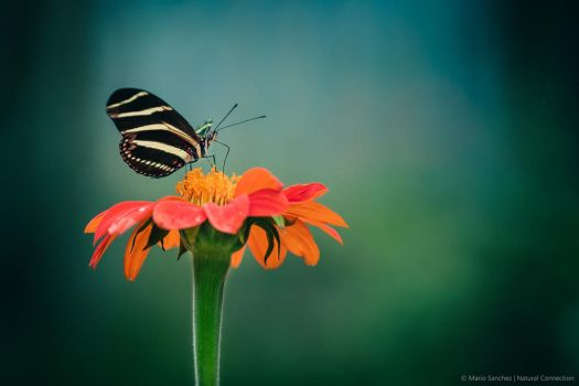 Butterfly by MCN22