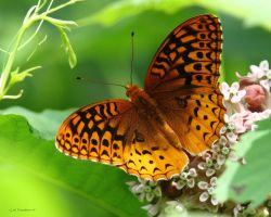 Fritillary Butterfly by natureguy