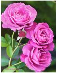 My Garden Roses by theresahelmer