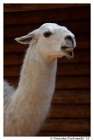 Fugly Llama by TVD-Photography