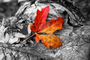 Fall Leaf (1275ccbw) by flatowlphoto