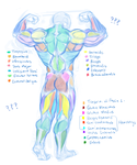 Help wanted - Muscle Study by fralea