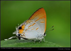 Hypolycaena thecloides by log1t3ch