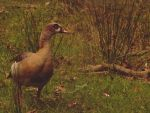Egyptian Goose by Roky320