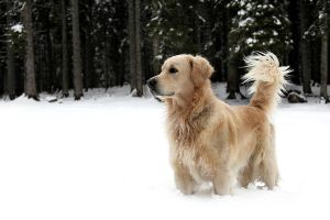 Golden Retriever by ceops