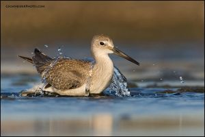 Willet bathing by gregster09