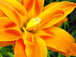 tiger lily stock by music-lover-stock