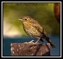 Robin Not Yet Red Breast by 001mark