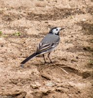 White Wagtail by canardu