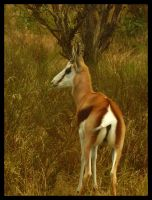 Springbok by Devil-Wolf-1999