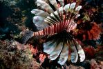 Lionfish by hozguler