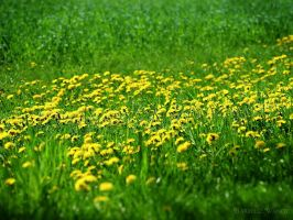 Yellow dandelions by bwanot