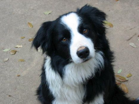 Joey: Border Collie by dogs