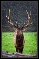 Wet Elk by o0oLUXo0o