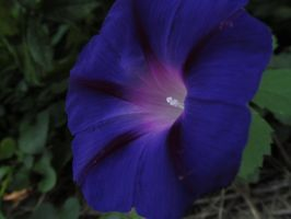 Purple Morning Glory 4 by Nightowl103