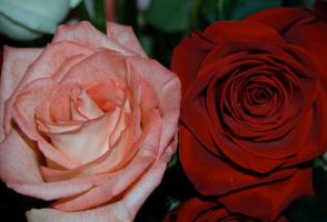 Rose stock 4 by anbdstock