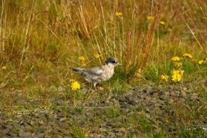 Arctic Tern chick 2 by ragnaice