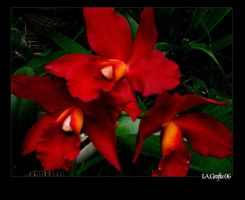 Orchid series: 4 by I-A-Grafix