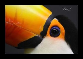Toucan Toco by EliseJ-Photographie