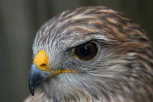 Hawk by Hobgoblin666
