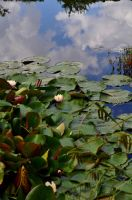 Lilies And Sky by Forestina-Fotos