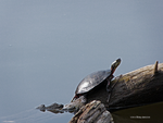 Sun kissed turtle by Mogrianne