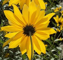 helianthes turned his back by marob0501