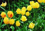 Bright tulips by Clarctic
