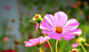 Pink Daisy by marmotstudio