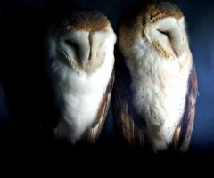 Barn owls by hippynosis