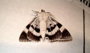 Black and white moth 2 by Ripplin