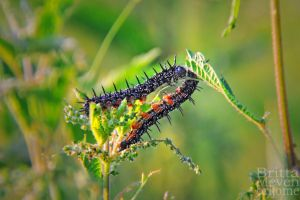 Two Caterpillars by brijome