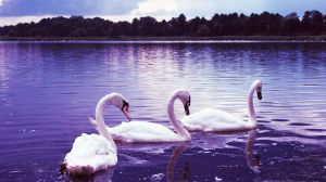 Swan Lake by gnorw
