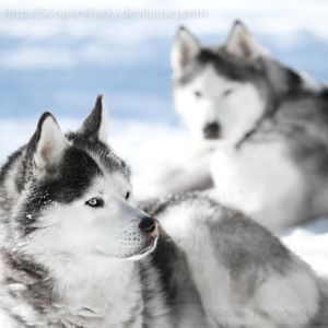 Snow Dogs 2283 by Sooper-Husky