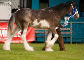 Clydesdale foal 4 by Kennelwood-Stock