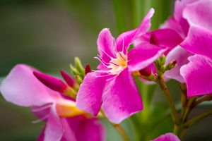 Pink Panther lily by furstripe