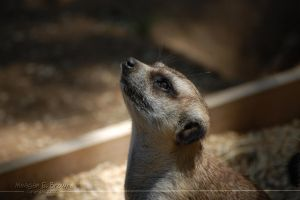 Meerkat by kiTTeh-LuV