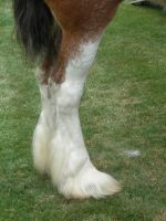 Draft Horse Hind Legs by mmad-sscientist