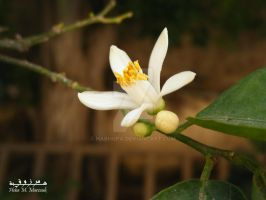 White Flower by habhopa