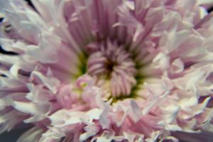 Fringed Daisy 3 by OneLittlePixel