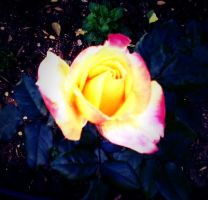 colour rose by Bohax