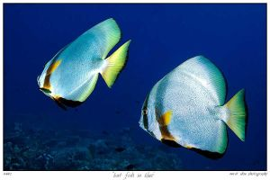 bat fish in blue by carettacaretta