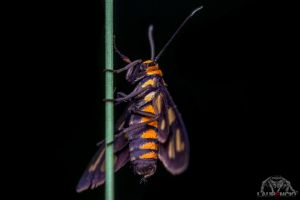 Wasp Moth by Anrico