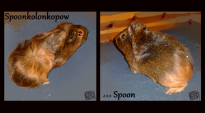 Spoon The guineapig by griffsnuff