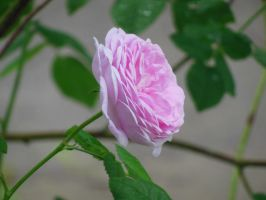 Pink Rose by Photoartistic26