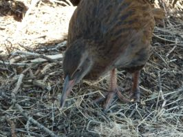 The Weka, a native NZ bird by Camalla